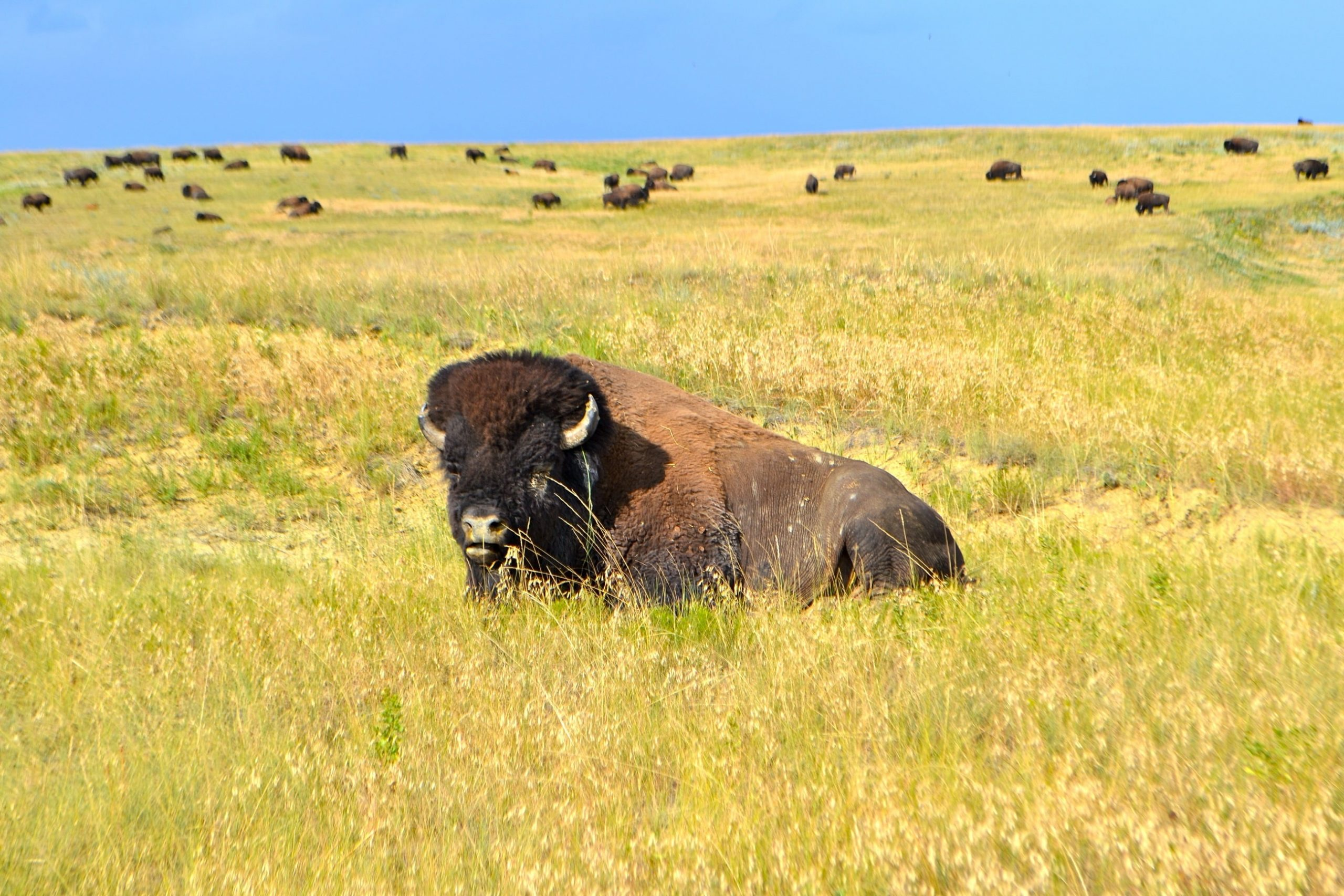 Buy Essentially Wild Buffalo Meat Online - Beck and Bulow