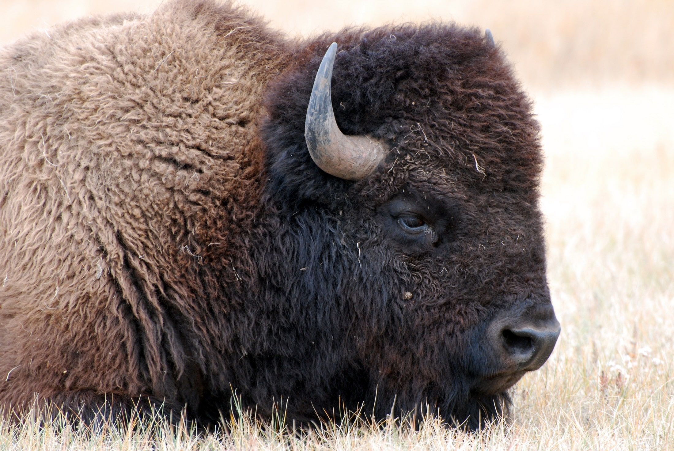 Where Are They Now Where To See American Bison - Beck and Bulow