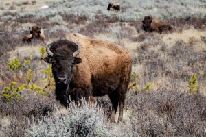 Bison Vs Buffalo Is There A Difference - Beck and Bulow