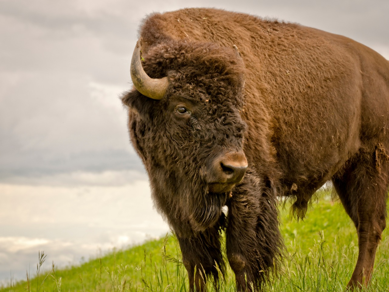 Why Our Motto Is Once You Go Bison, You'll Never Go Back - Beck & Bulow